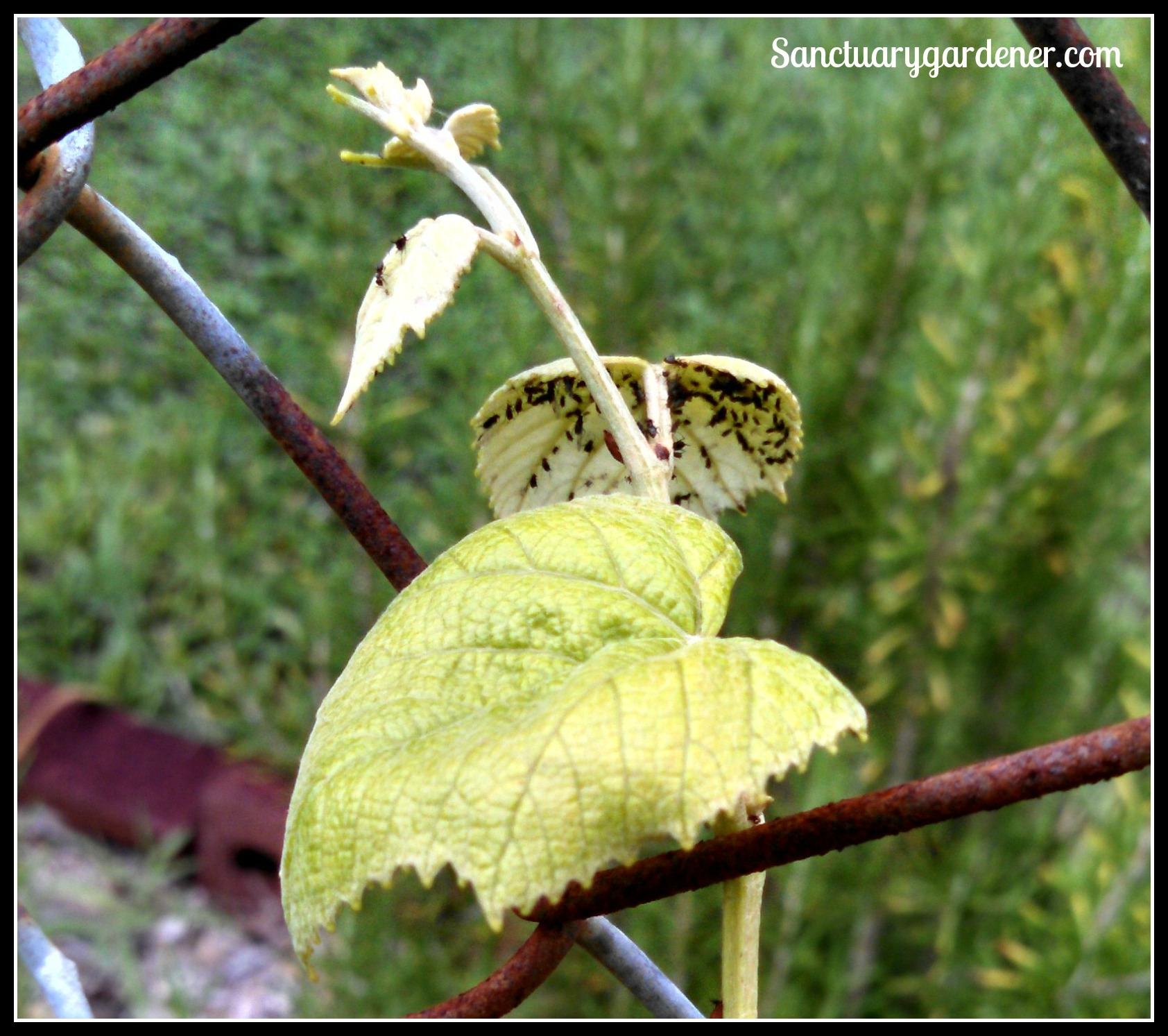 how to get rid of black citrus aphids