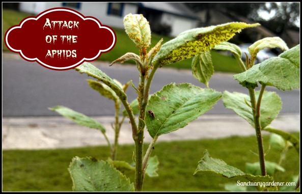 Attack of the Aphids pic