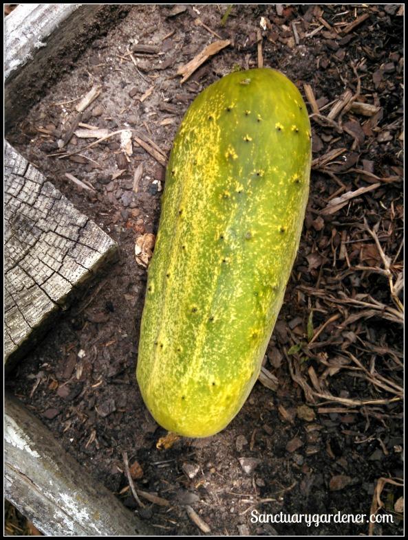 Overripe pickling cucumber