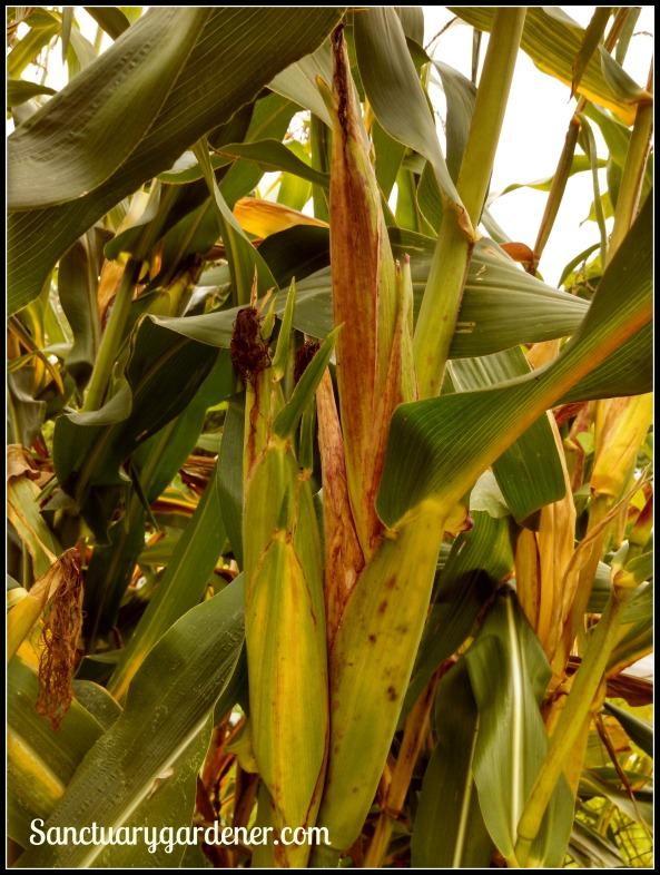 Glass Gem corn stalk with  3 ears