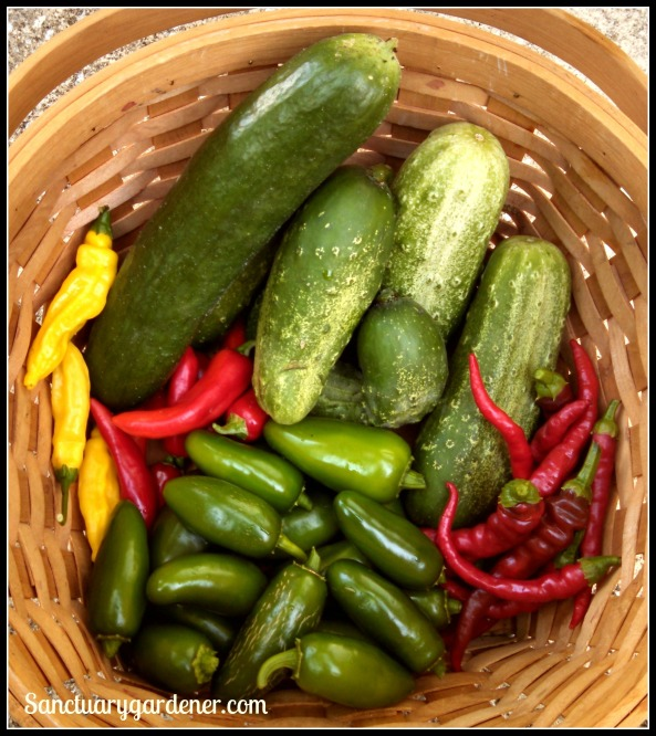 Beit Alpha & Boston pickling cucumbers, cayenne peppers, jalapenos, lemon drop peppers, & fish peppers