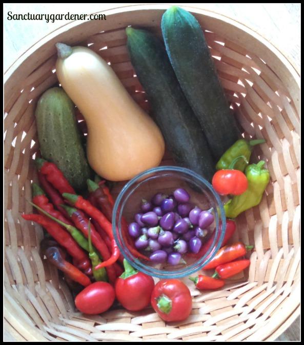 Betterbush squash, Beit Alpha cucumbers,