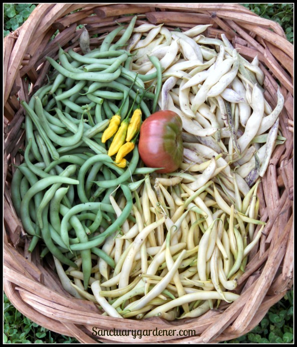 Dragon Tongue beans, Beurre de Roquencourt wax beans, Black Valentine green beans. In the center: lemon drop peppers, Black Krim tomato