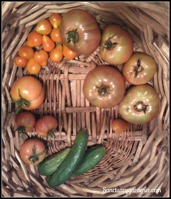 Pear tomatoes, Cherokee purple tomatoes,