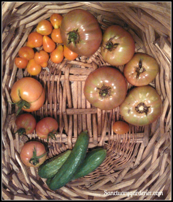 Pear tomatoes, Cherokee purple tomatoes,