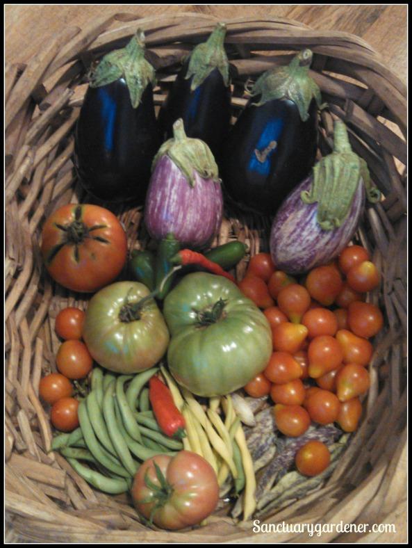 Black Beauty & Listada de Gandia eggplant,