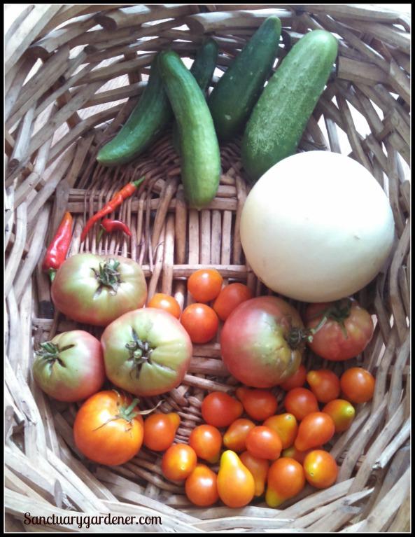 Beit Alpha & Boston pickling cucumbers, Tam Dew honeydew melon,