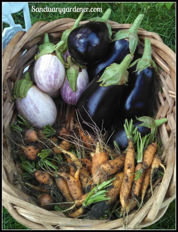 Listada de Gandia & Black Beauty eggplant, Scarlet Nantes & Parisienne carrots
