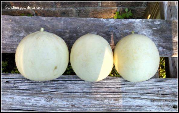 Tam Dew honeydew melons
