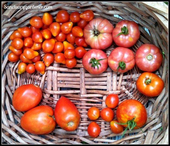 Tomatoes: Pear, Mortgage Lifter, Rutgers, Riesentraube cherry, Amish paste