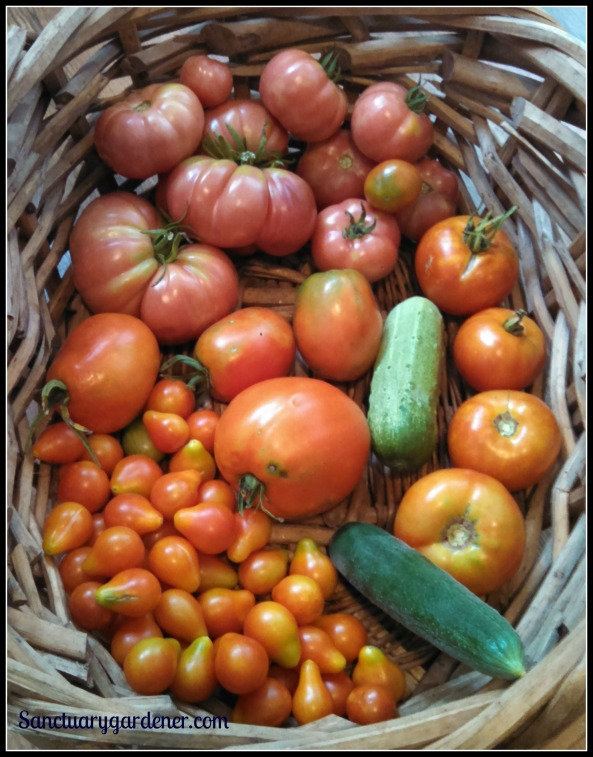 Mortgage Lifter tomatoes,