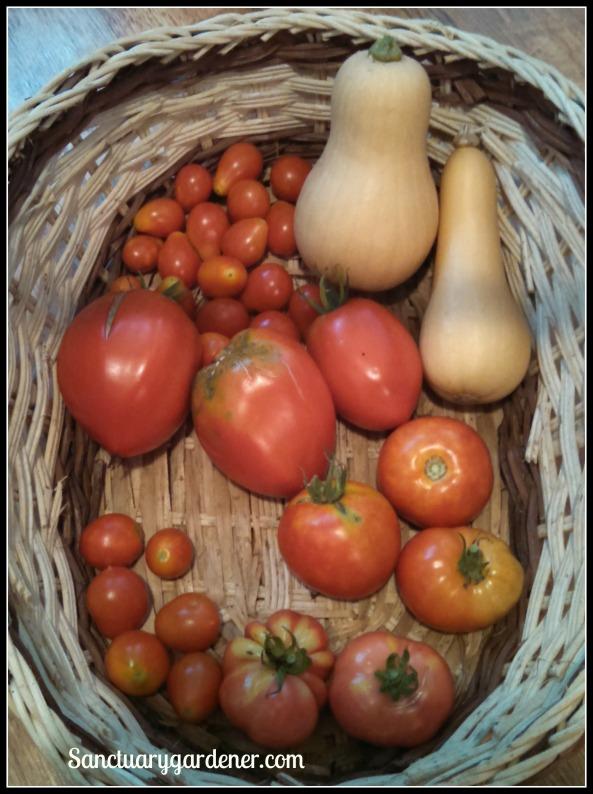 Pear tomatoes, Betterbush butternut squash