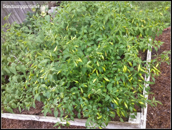 Lemon drop pepper plants loaded with fruit