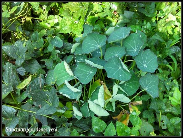 Nasturtium among lima beans