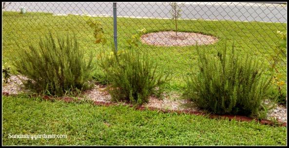 Rosemary bushes