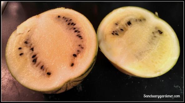 Ripe Cream of Saskatchewan watermelon sliced open