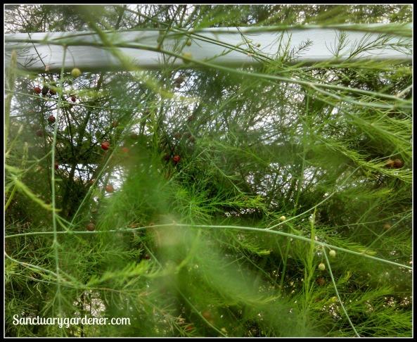 Asparagus seed pods