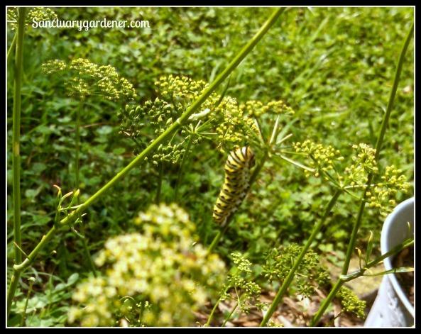 Black swallowtail caterpillar on curly parsley stem