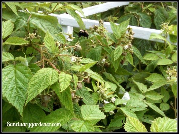 Bumblebee on raspberries