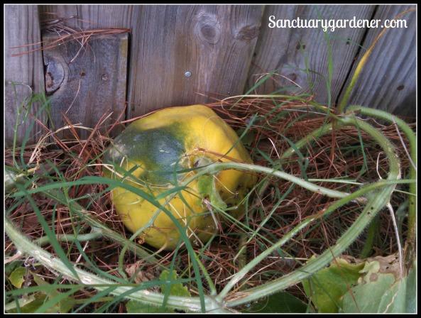 Overripe cantaloupe