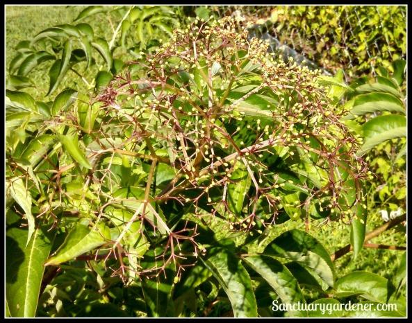Elderberries fruiting