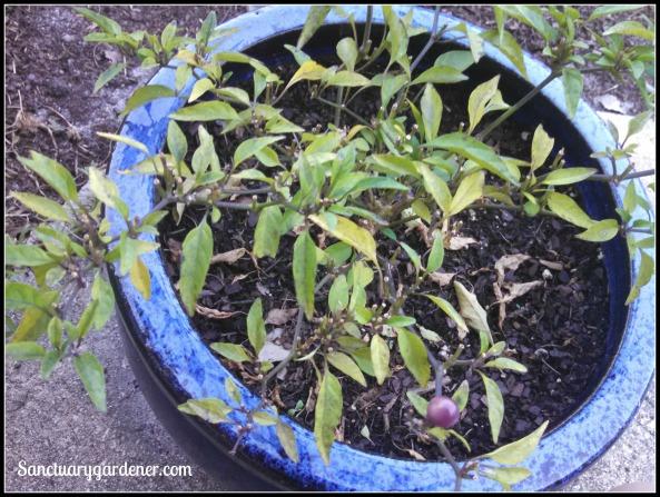 Filius Blue pepper plant