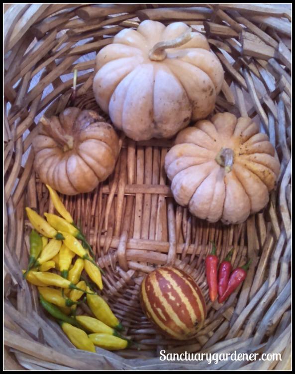 Black futsu squash, fish peppers, rich sweetness melon, lemon drop peppers