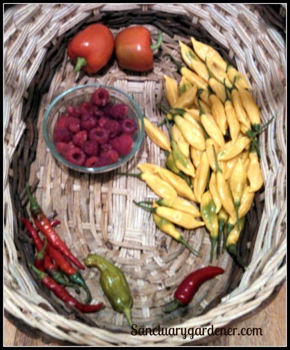 Red bell peppers, lemon drop peppers, fish pepper, pepperoncini, jalapenos, Caroline raspberries