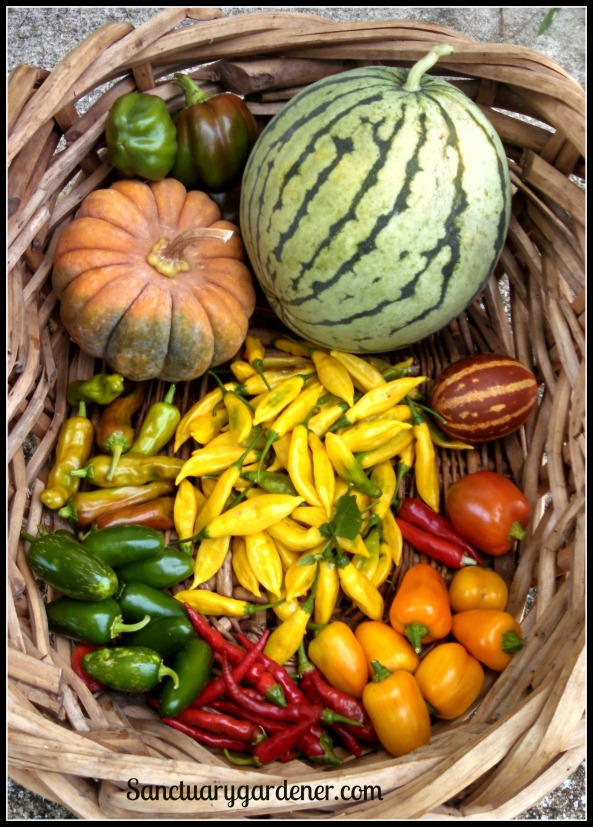 Emerald Giant green bell peppers, early moonbeam watermelon, rich sweetness melon, red bell pepper, fish peppers, mini yellow stuffing peppers, cayenne peppers, jalapenos, pepperoncini, black futsu squash. In the center: lemon drop peppers