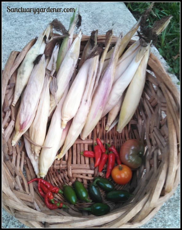 Glass Gem corn, Black Krim tomato, Rutgers tomato, jalapenos, cayenne peppers. In the center: Fish peppers
