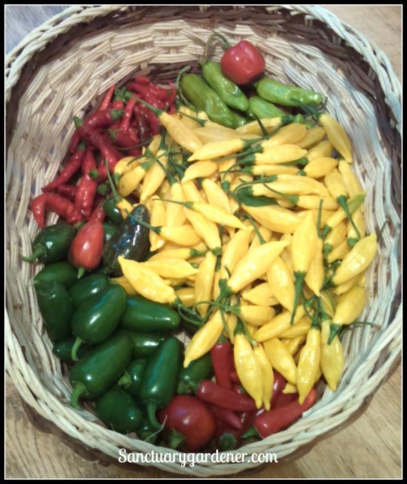 Rocoto pepper,