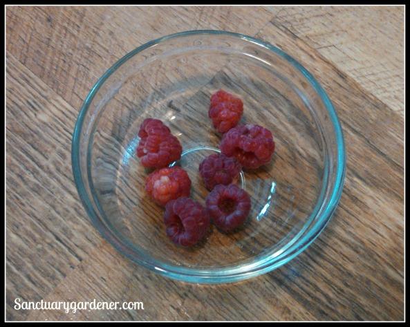 Caroline Everbearing raspberries