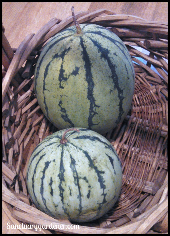 Cream of Saskatchewan watermelons