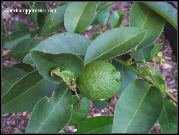 Key lime fruit that isn't?
