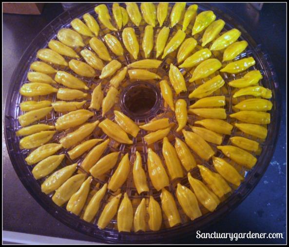 Lemon drop peppers in the dehydrator