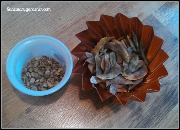 Magenta orach seeds & Henderson lima bean seeds