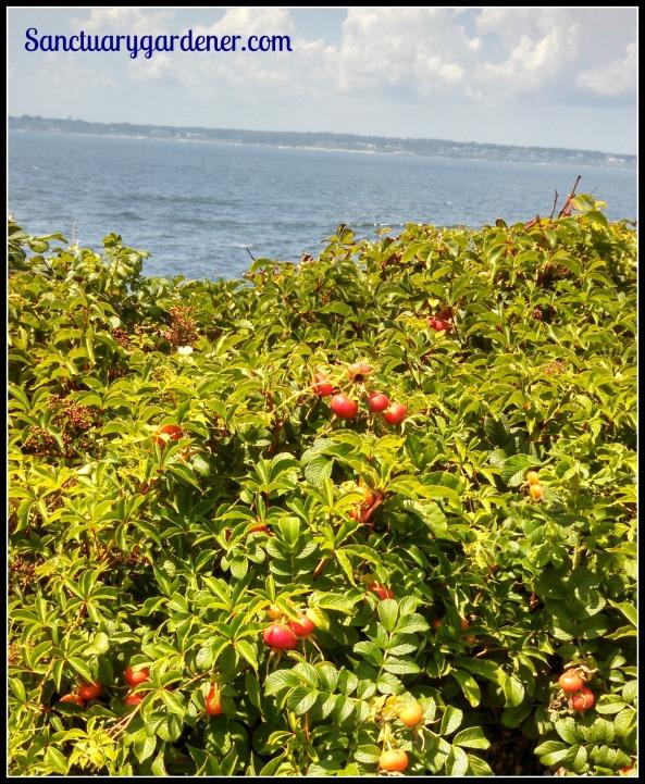 Marsh rose hips
