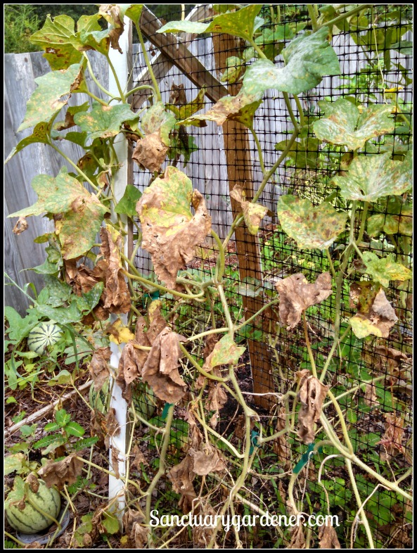 Rich sweetness melon vine with downy mildew