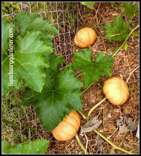 Seminole pumpkins almost ripe