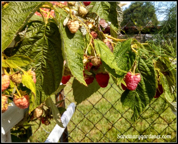 Caroline raspberries ripening