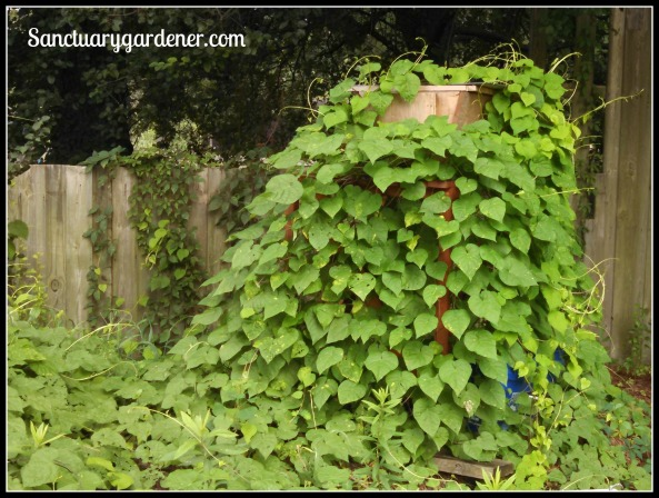 Beehive covered in morning glory vines