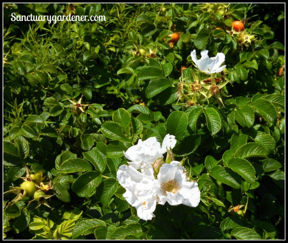 White marsh roses
