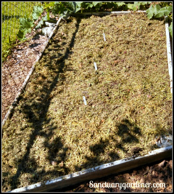 Bed 1 in September ~ Lettuce newly sown