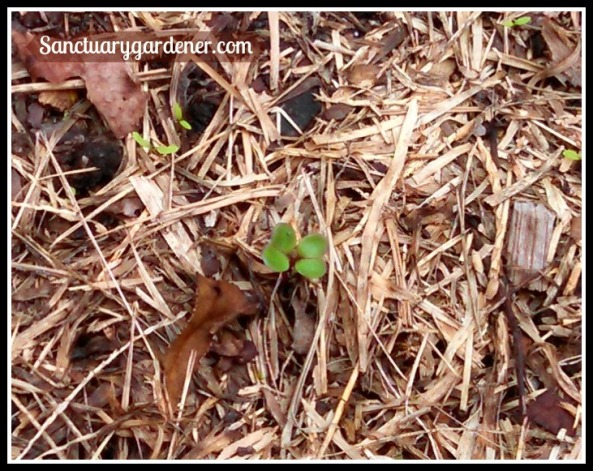 Brussels sprout seedling ~ 7 days after planting