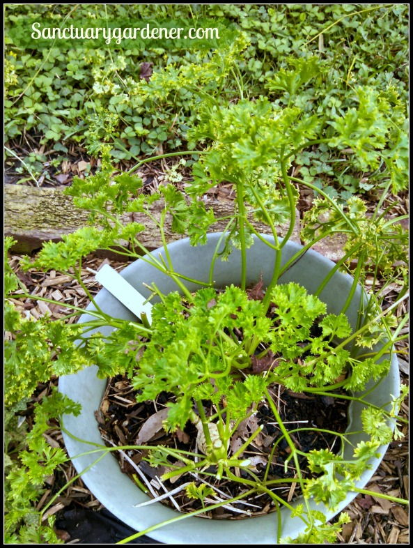 Curly parsley growing back