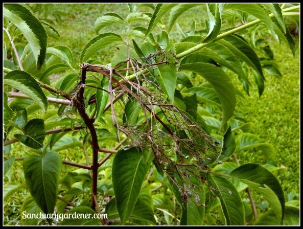 Dead elderberry cluster