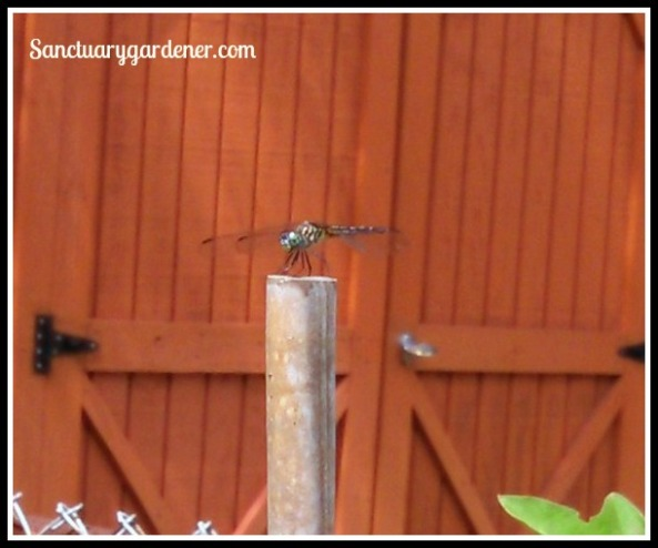 Dragonfly posing for me