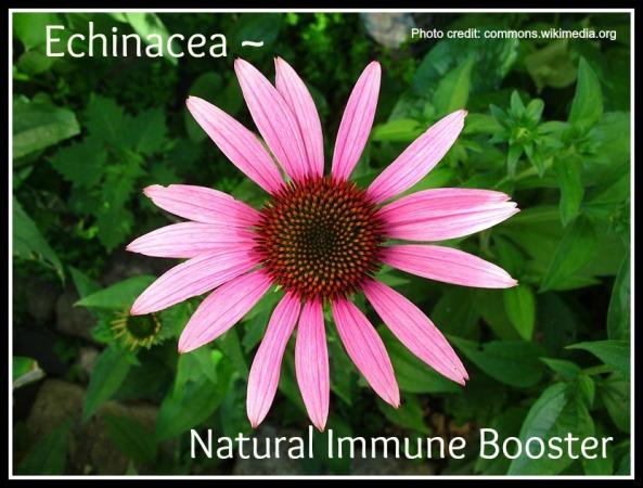 Echinacea pic