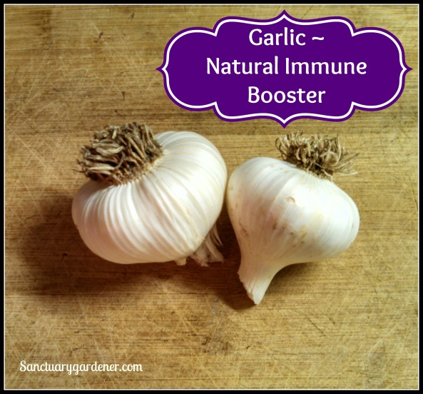 Garlic Immune Booster pic