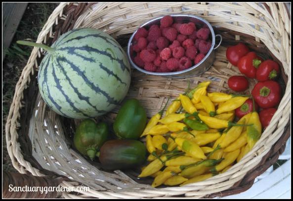 Caroline raspberries, mini red bell peppers, lemon drop peppers, Emerald Giant green bell peppers, Cream of Saskatchewan watermelon